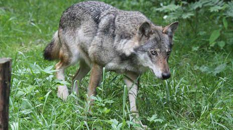 Un loup aurait été vu à la frontière du Lot, à Campagnac-les-Quercy.