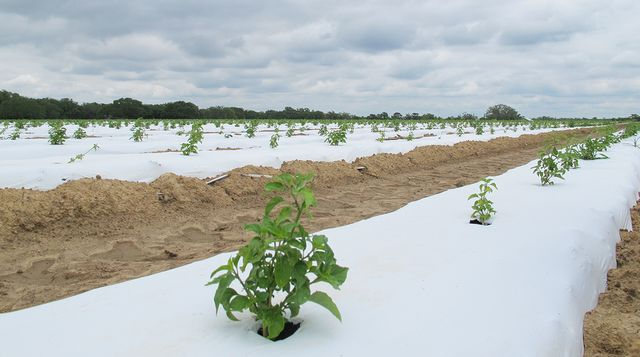Plantation de piments en Louisiane