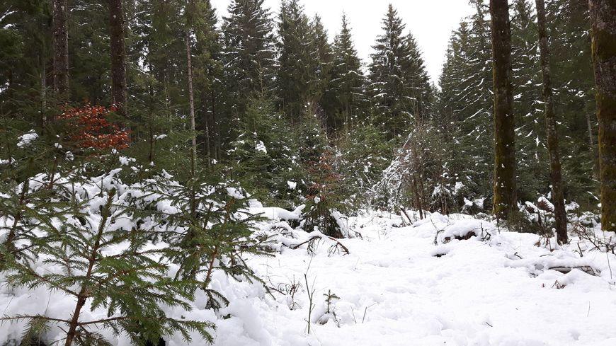 Au premier plan, les petits sapins ont 3-4 ans, dans la clairière ils ont une quinzaine d'années et les grands du fond plus de 60 ans, la forêt se renouvelle