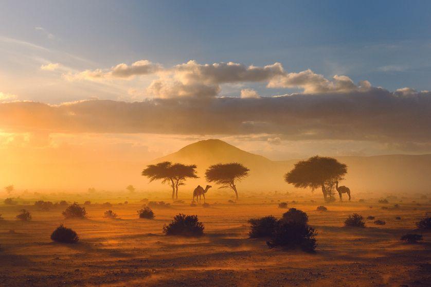 Parc à acacias dans lequel paraissent dromadaires, moutons et chèves. Province de Guelmim, Maroc.