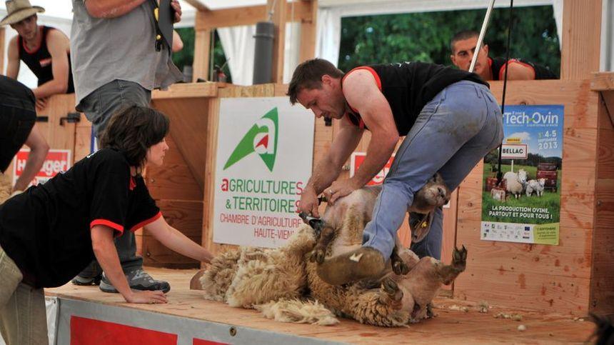 Le Dorat va organiser le championnat du monde de tonte de mouton en 2019. En 2013, la commune haut-viennoise avait déjà accueilli le tournoi des six nations de la discipline.