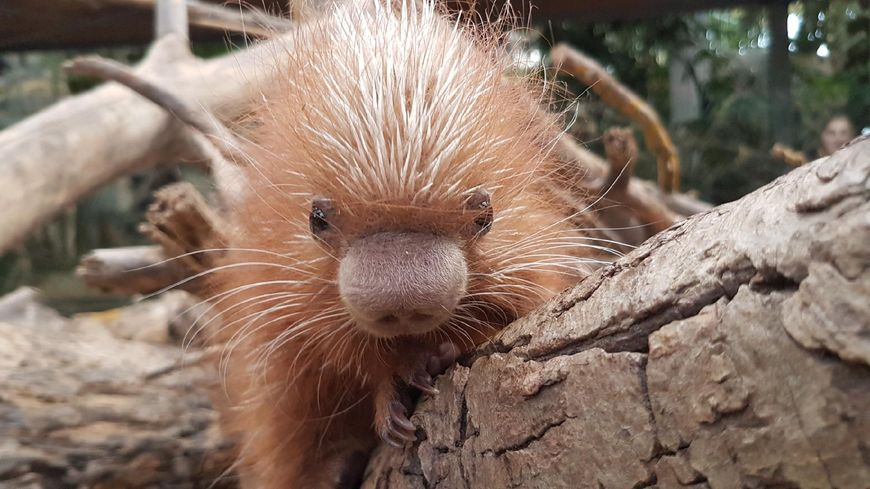le coendou est une espèce de porc-épic arboricole dont il n'éxiste qu'une trentaine d'individus en France