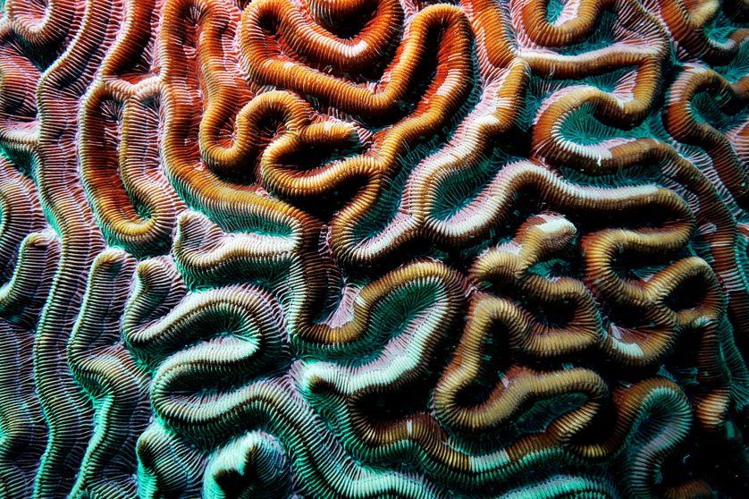 Corail-cerveau