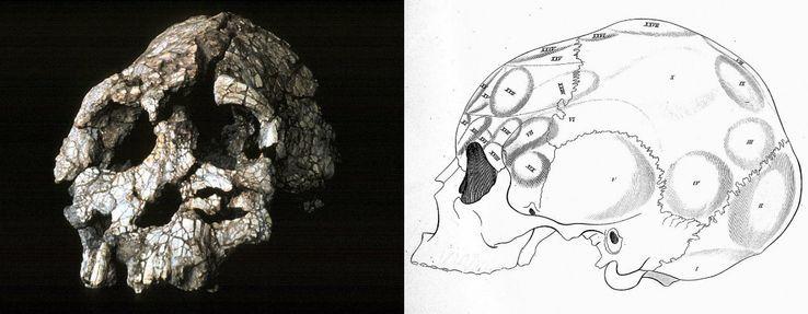 """Crâne fossilisé, """"l'homme du Kenya à la face plate"""" découvert en Ethiopie en 1974 / schéma d'un crâne d'homme moderne dans le livre de F. J. Gall et J. G. Spurrzheim daté de 1810"""