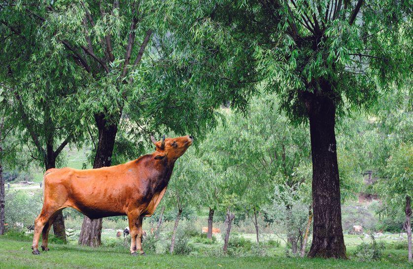 Trognes de saules au Bouthan : feuilles et branchages nourrissent les vaches.