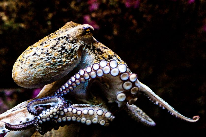 Une pieuvre de l'aquarium de Coruña