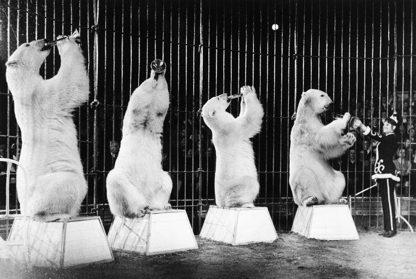 Ours polaires dressés par le cirque Krone à Munich, en Allemagne, en 1969.