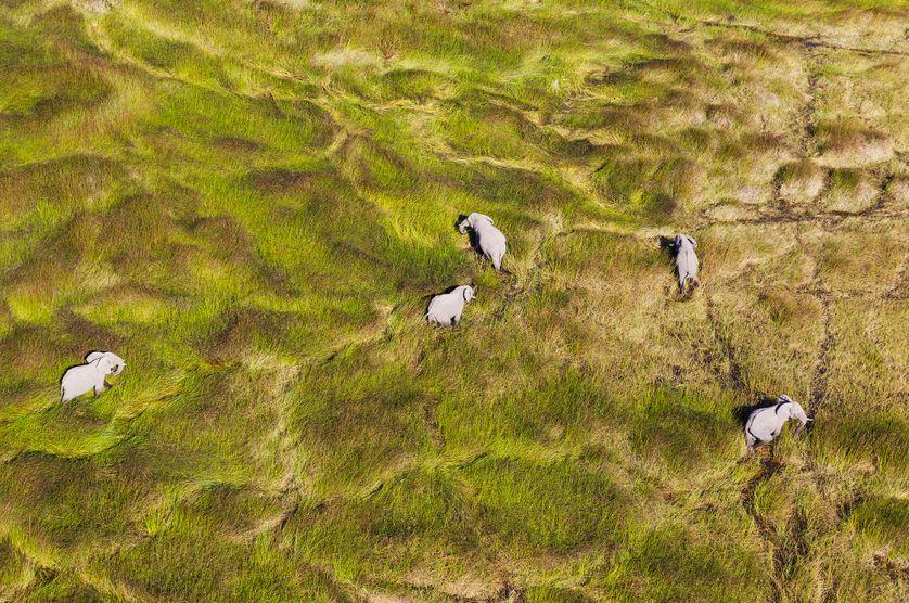 Éléphant d'Afrique errant dans un marais - Okavango Botswana.