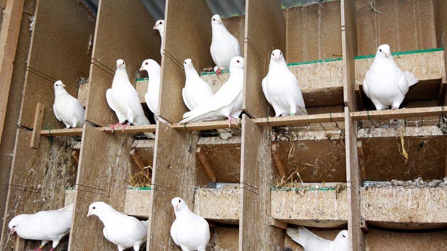 La maladie de Newcastle est fortement contagieuse pour les volailles