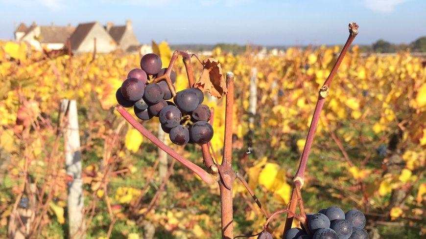 Les vignes de Côte-d'Or.