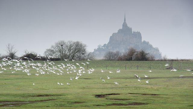 Envol d'oiseaux de mer devant le Mont-Saint-Michel