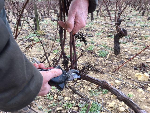 Le vigneron et ses 2 salariés doivent tailler 300 pieds par jour avant le printemps.