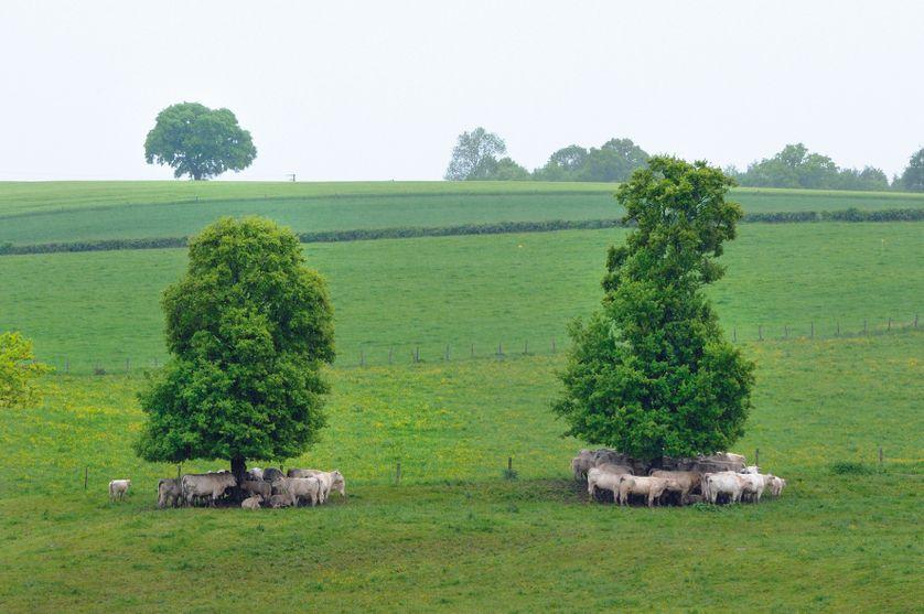 Chênes autrefois émondés dans le Morvan, ayant repris un port d'arbre libre mais la forme allongée de l'émonde est encore reconnaissable.