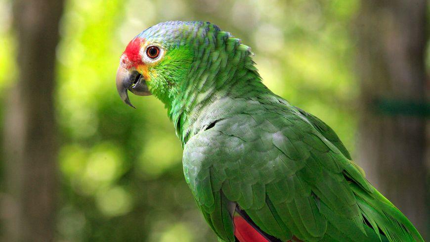 L'oiseau perdu est un perroquet vert ressemblant à celui-ci.