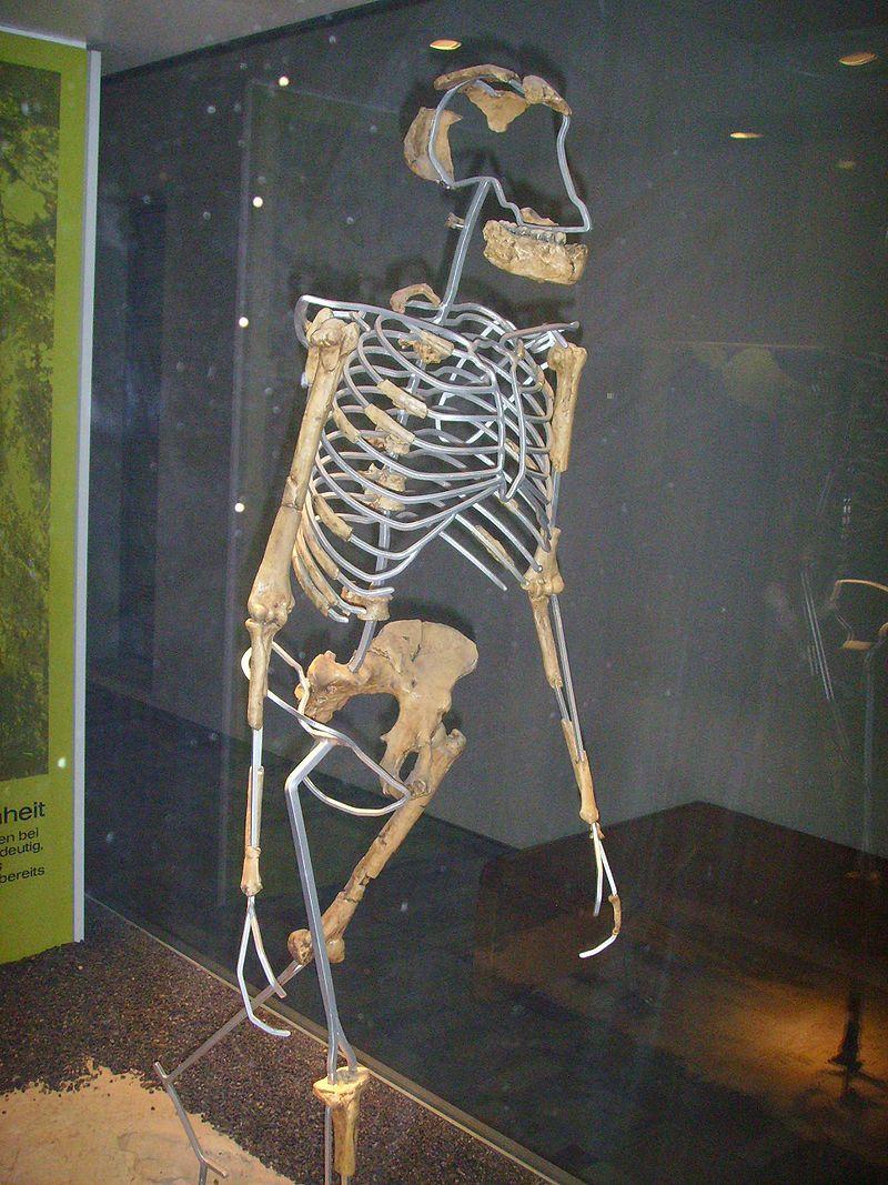 Reconstitution montrant que Lucy était bipède, Senckenberg-Museum de Francfort-sur-le-Main, Allemagne