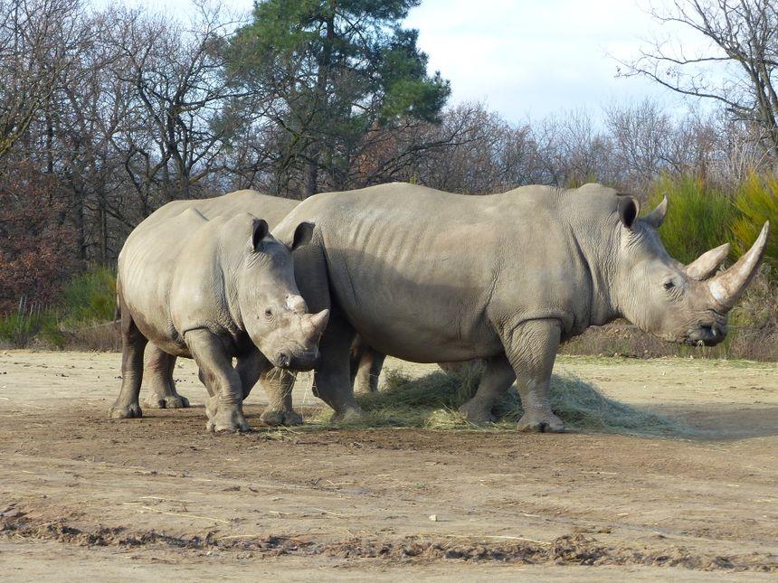 Il n'y a que 20.000 rhinocéros blancs dans le monde.