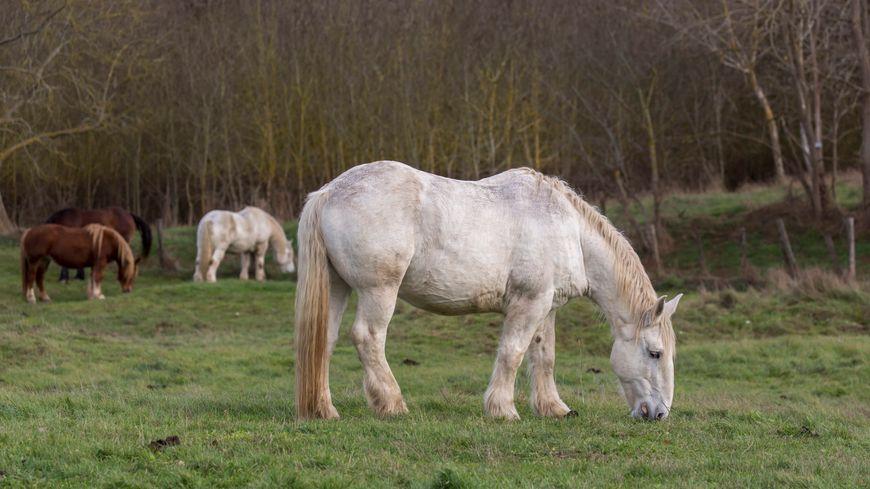 Un cheval de la race percheronne (Illustration)
