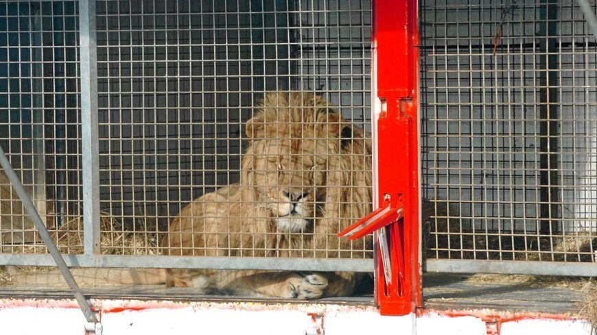 Un lion en captivité