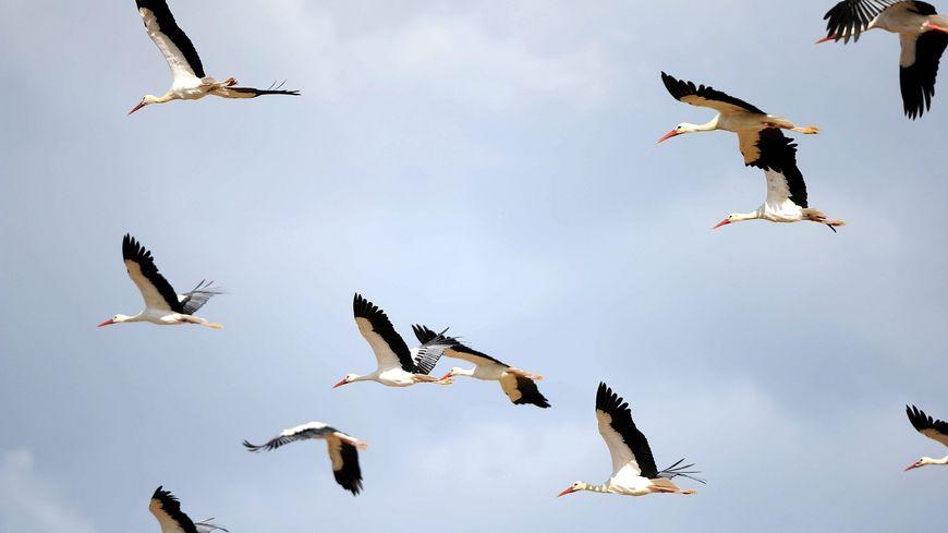 Des cigognes en pleine migration