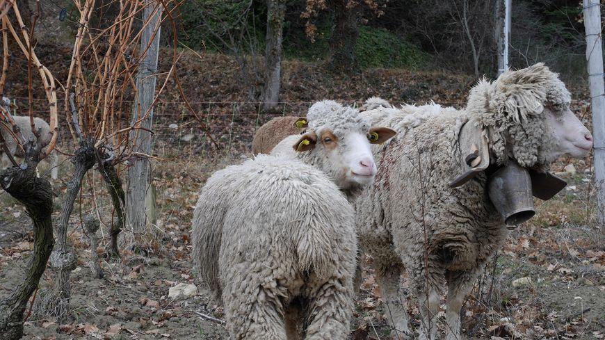 Brebis dans les vignes de Clairette à Suze (Drôme)
