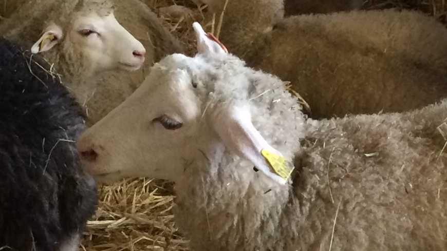 La 13ème Ovinpiade des jeunes bergers se tenait au lycée agricole de Fondettes