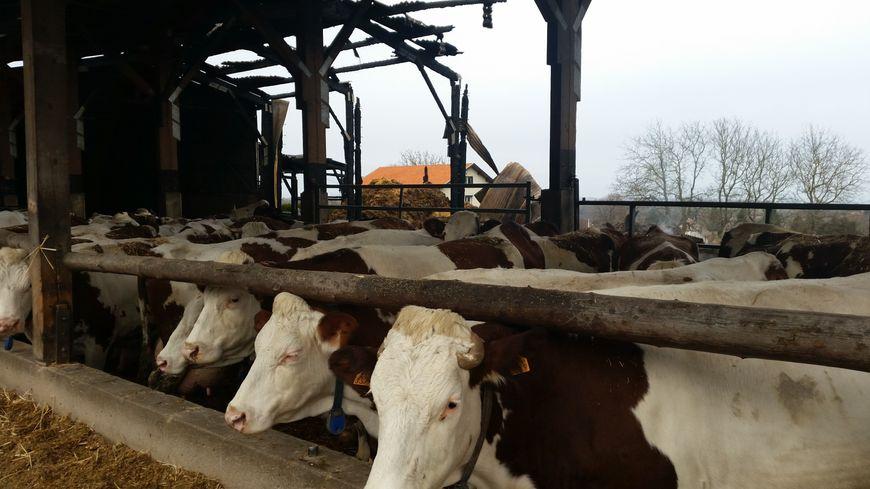 Le GAEC compte 90 vaches allaitantes. Toutes ont été sauvées mais le stress a un impact sur la production de lait.