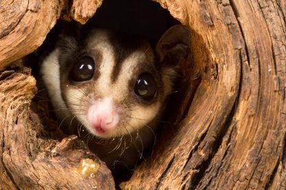 Les opossums se brûlent les pattes en Australie