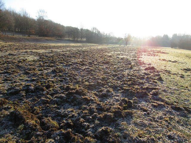 Les sangliers qui font de gros dégâts dans les pâtures des producteurs de munster