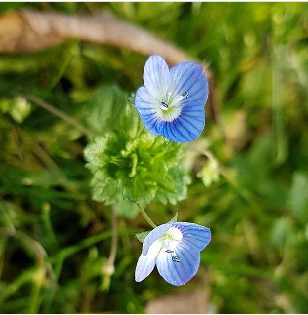 Charmante petite fleur bleue à Boulazac