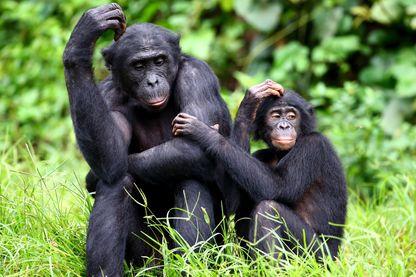 Les bonobos préfèrent les goujats, une stratégie de survie en milieu hostile ?