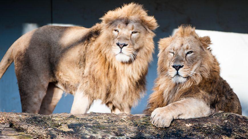 Lions du zoo de Stuttgart en Allemagne.