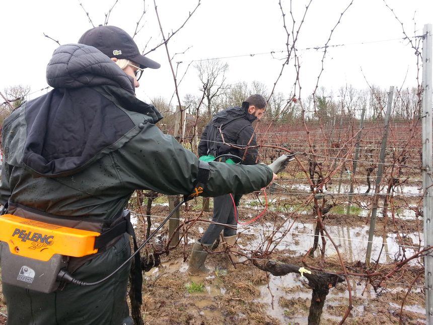 Céline Yachou, responsable de taille des vignobles Ribéreau, constate des dégâts sur les vignes causées par le gel