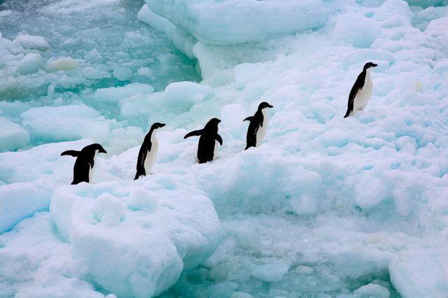La mer de Weddel est un refuge pour 12 espèces de baleines, 6 espèce de phoques, les manchots Adélie et les manchots empereurs