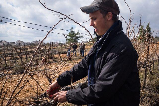 Ben Hilton, chrétien évangélique, taille dans les vignes de la colonie de Psagot.
