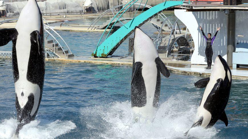 Les orques du parc Marineland d'Antibes