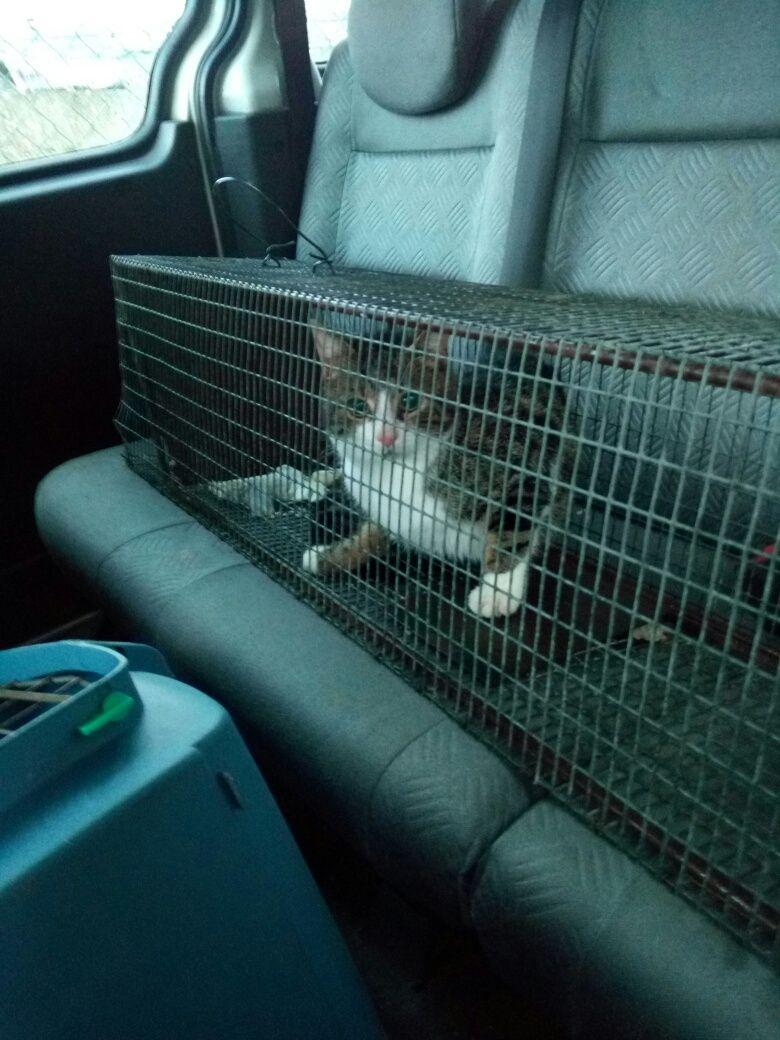 Une fois attrapés, les chats errants sont conduits chez un vétérinaire pour être stérilisés
