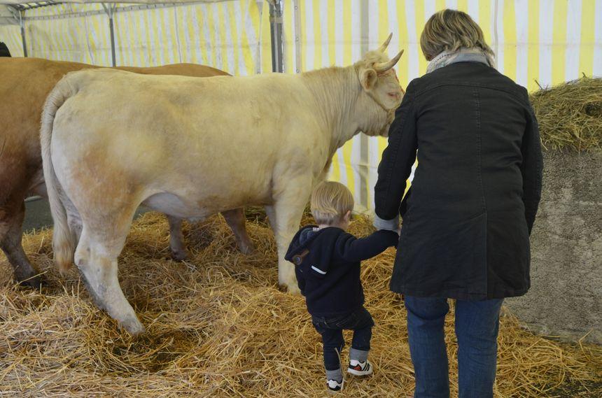 l'un des bovins retenus pour produire le fin gras