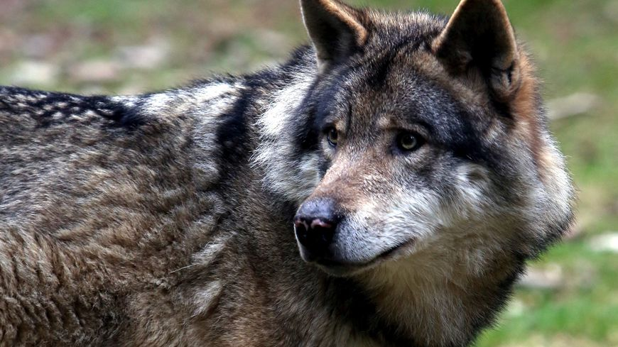 En 2018, 40 loups pourront être abattus en France.
