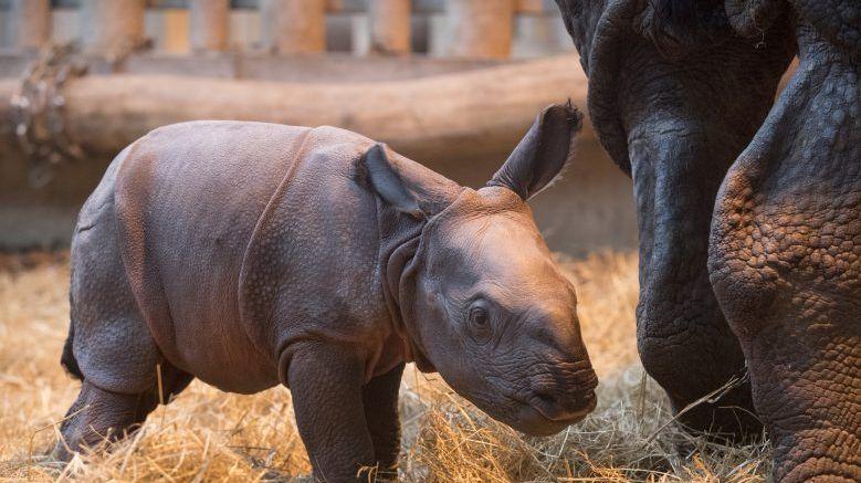C'est la troisième naissance d'un bébé rhinocéros indien à Beauval