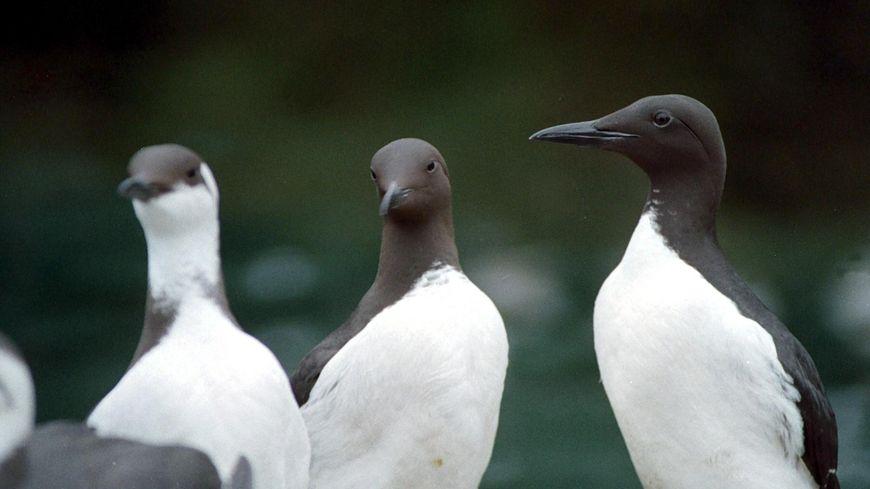 Les guillemots sont les oiseaux marins qui sont le plus recueillis en ce début d'année par Alca Torda