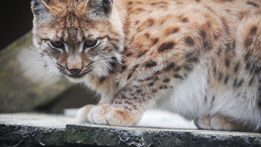 Athénas estime à 120 le nombre de lynx présents sur le massif jurassien