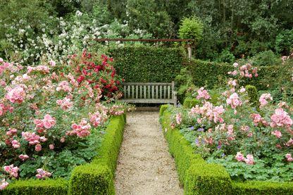 Jardin avec arbustes de roses, haie de buxus et haie de charme.