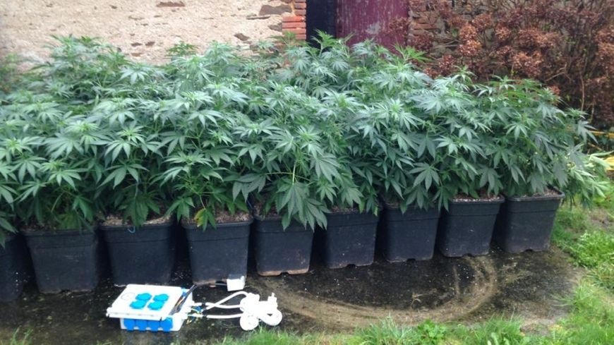 Une partie des plants de cannabis saisis par les Gendarmes de la Brigade de Recherches de Rezé dans le Pays de Retz