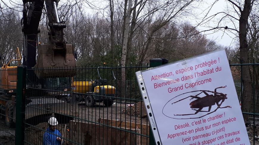 Le Grand Capricorne , un insecte protégé pour stopper les travaux d'un parking d'Airbus au bord du canal du midi