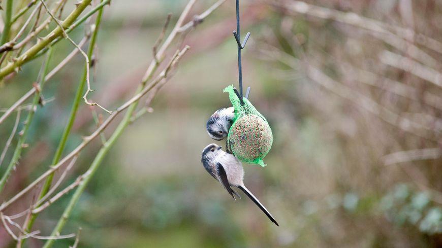 Profitez de ce week-end pour compter les oiseaux de votre jardin, ici une mésange