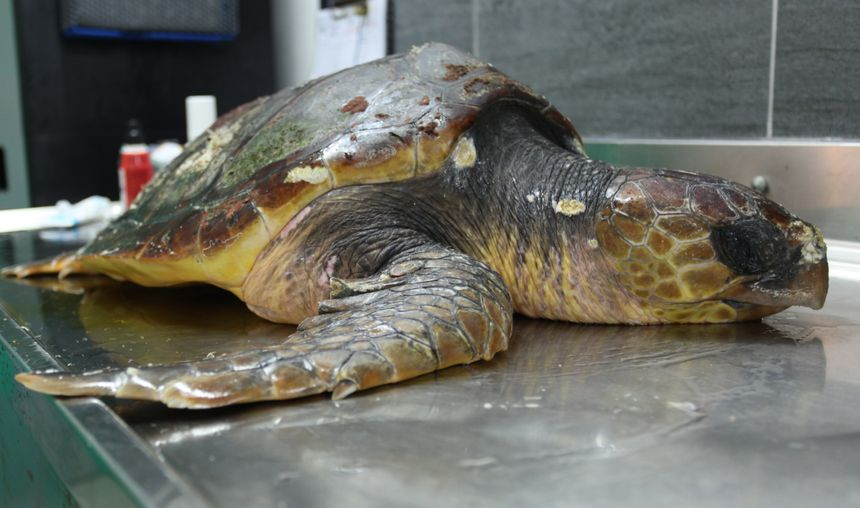 La tortue appartient à l'espèce caouanne. Elle est déjà bien réactive et a pu se réchauffer.