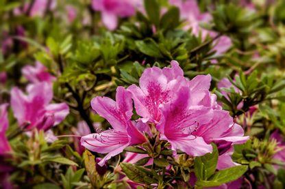 Les rhododendrons sont des plantes d'ornements qui cachent des pollens toxiques