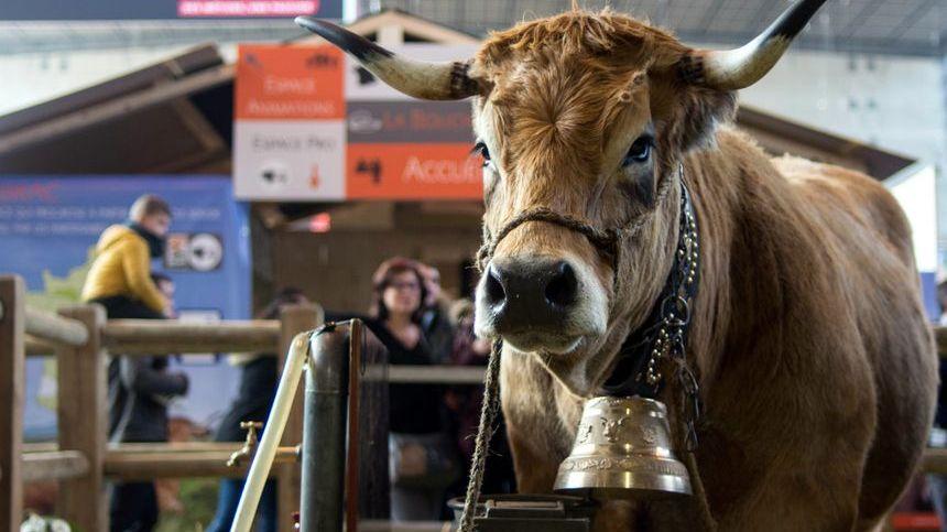 Haute, la vache aveyronnaise, star du salon.