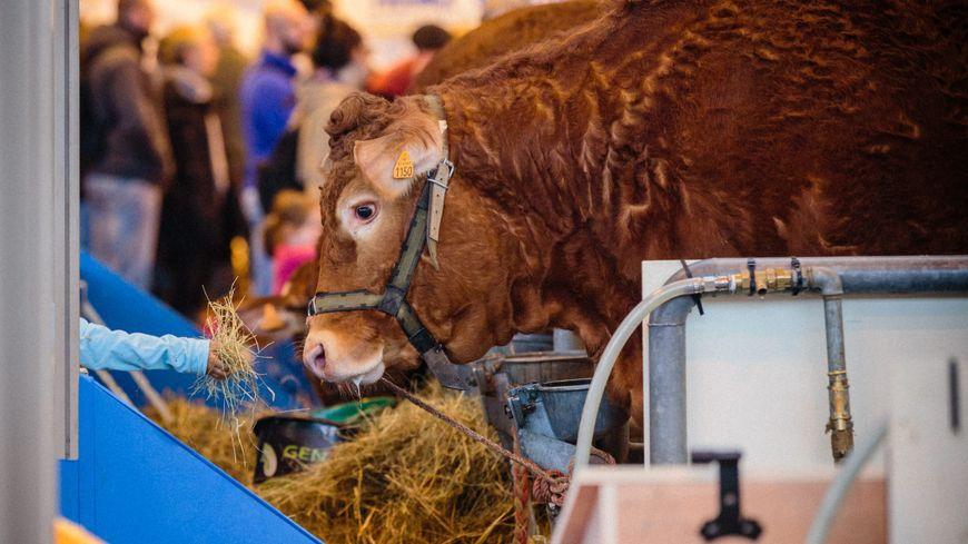 Au salon de l'agriculture 2017 , un enfant donne à manger à une vache limousine