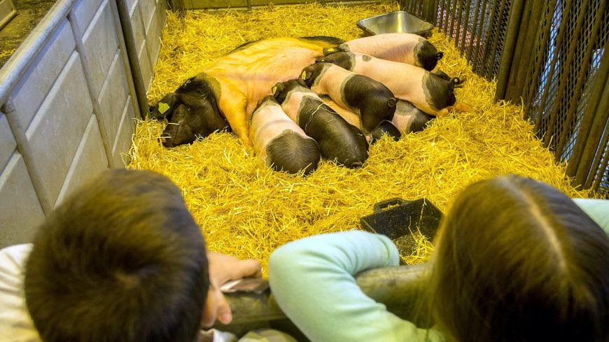 Le porc cul noir est aussi à l'honneur du Salon de l'agriculture à Paris